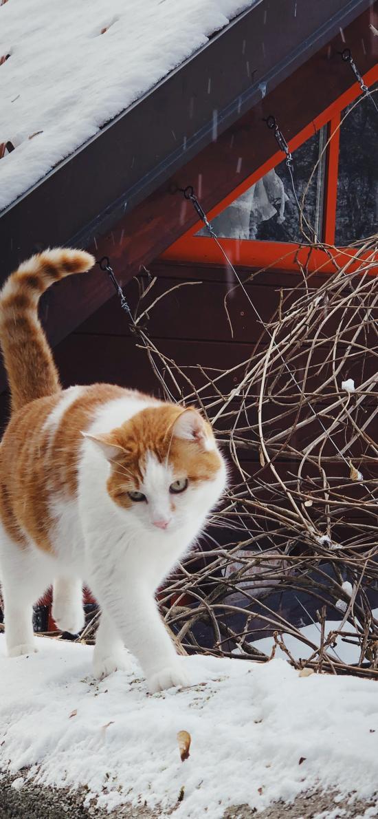 貓咪 墻頭 雪地 戶外 橘貓