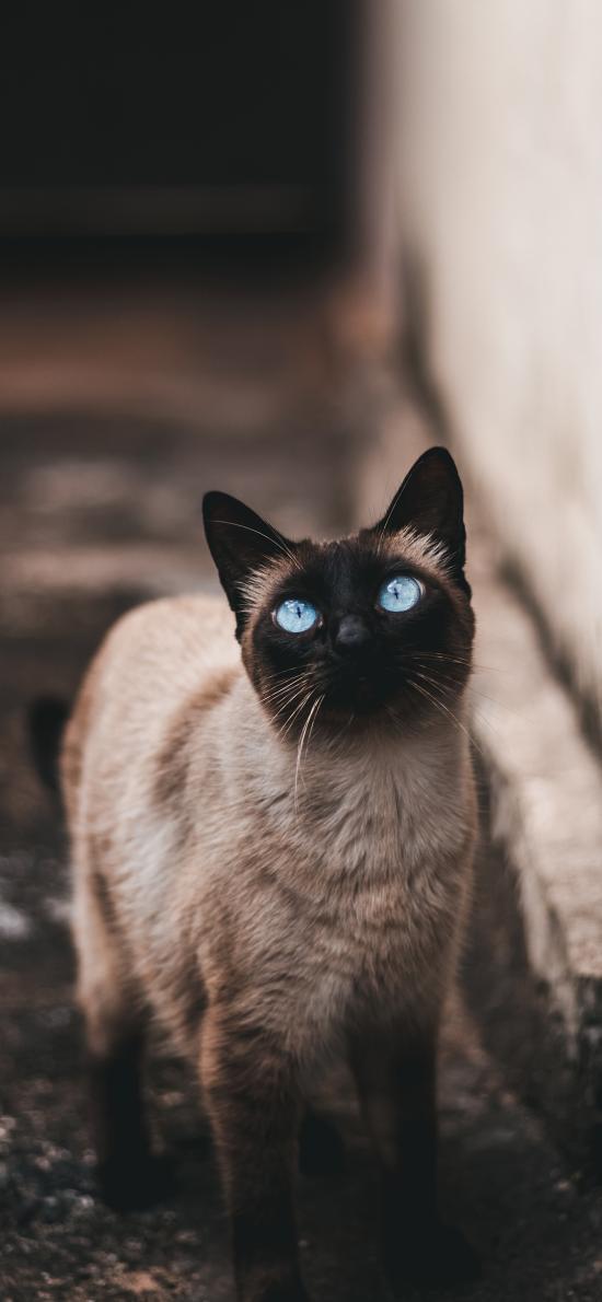 宠物 暹罗猫 猫咪 眼眸