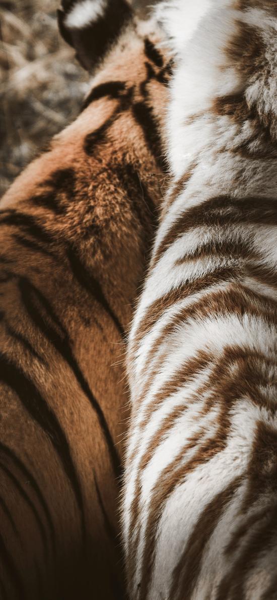 老虎 虎皮 背部 虎纹  白虎