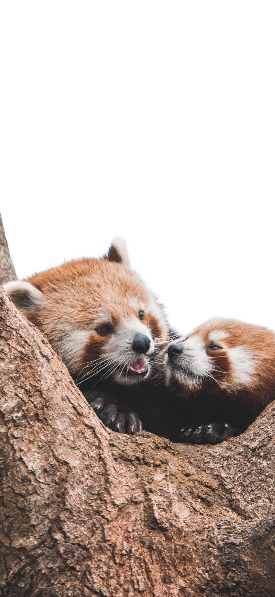 樹木 樹干 小熊貓 可愛