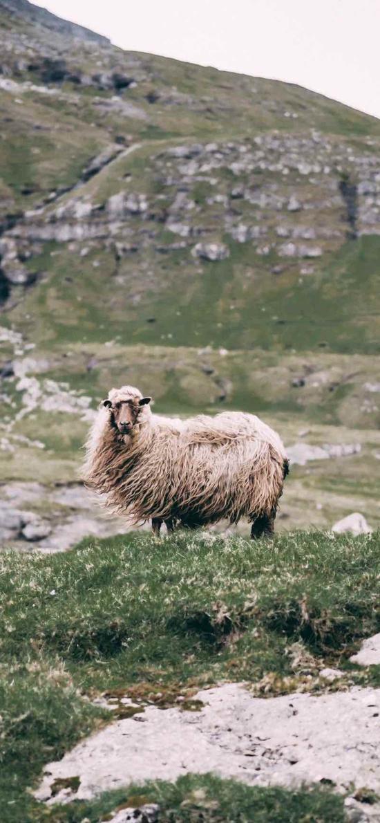 郊外 山峰 草地 羊 毛发