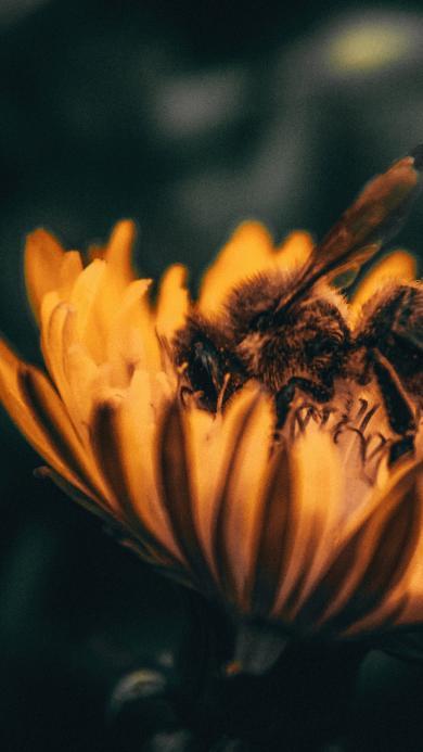 蜜蜂 采蜜 鲜花 花朵 昆虫