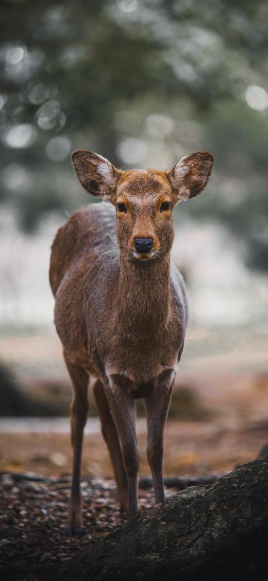 郊外 林间 小鹿 可爱