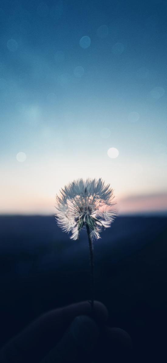 蒲公英 花球 种子 盛开