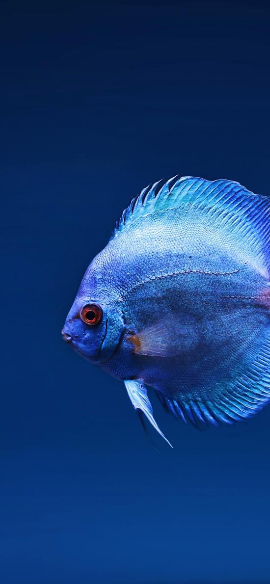 热带鱼 观赏鱼 蓝 鱼