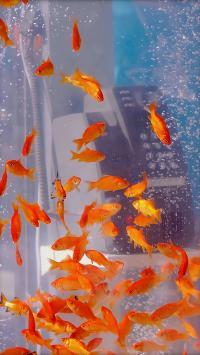 鱼缸 金鱼群 饲养 观赏
