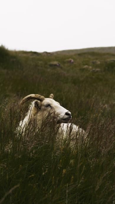 郊外 草地 山羊 羊角