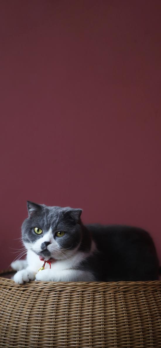 猫咪 蓝猫 宠物 肥胖