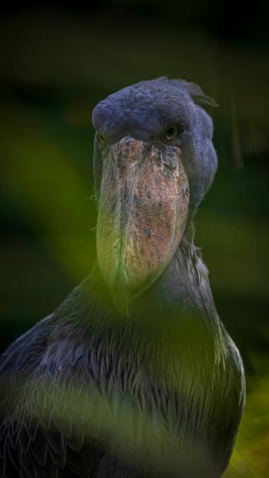 鲸头鹳 鸟类 灰色 羽毛 濒危