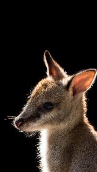 袋鼠 幼崽 皮毛 澳洲国宝