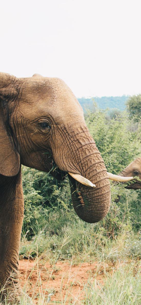 大象 象群 野外 象牙