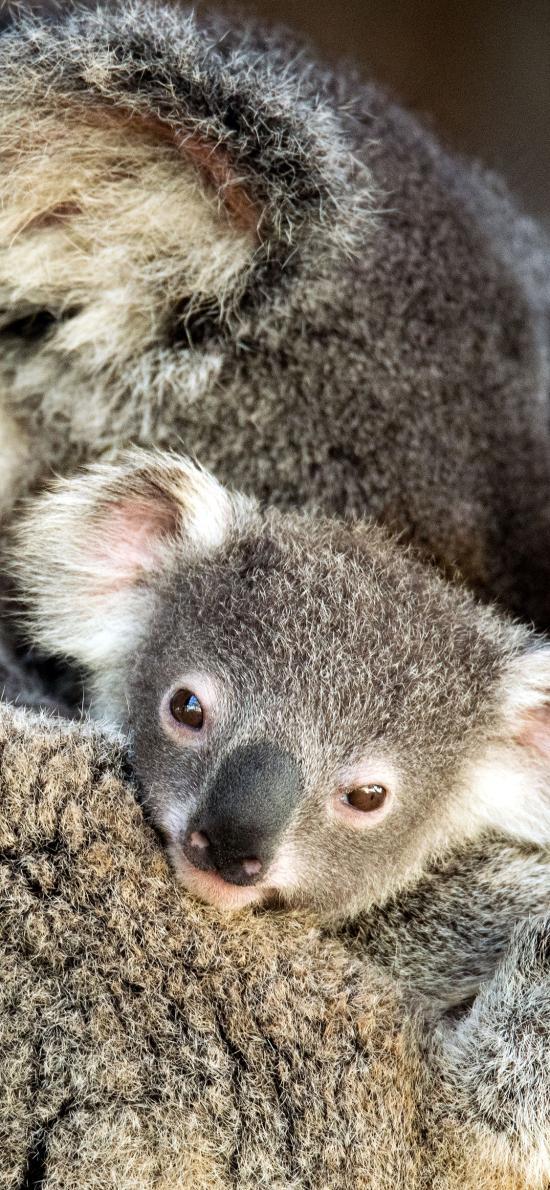 澳大利亚 考拉 幼崽 呆萌