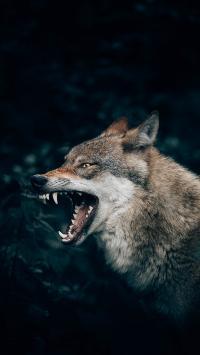 狼犬 獠牙 凶猛 野兽
