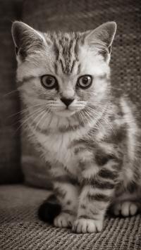 猫咪 宠物 银渐层 幼仔