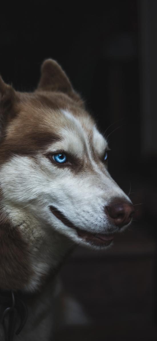 寵物狗 哈士奇 藍眼睛 呆萌
