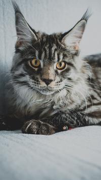 沙发 宠物猫 猫咪 霸气
