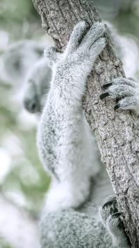 考拉 树袋熊 树干 皮毛