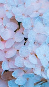 鲜花 绣球花 花朵 水珠