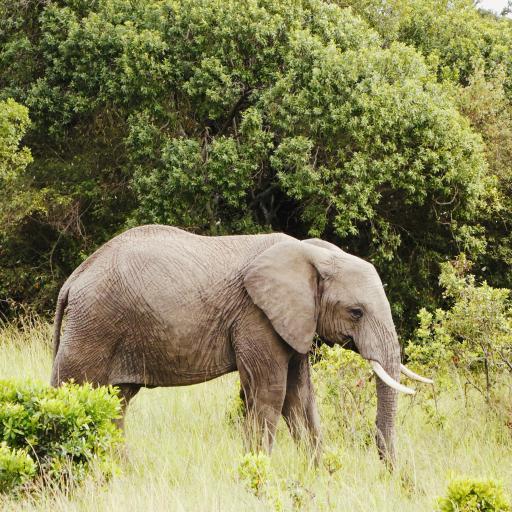大象 草原 野外 象牙