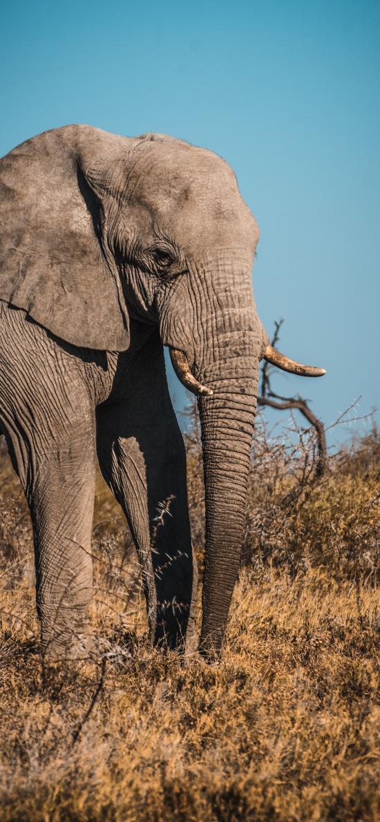 大象 野象 野生 荒野
