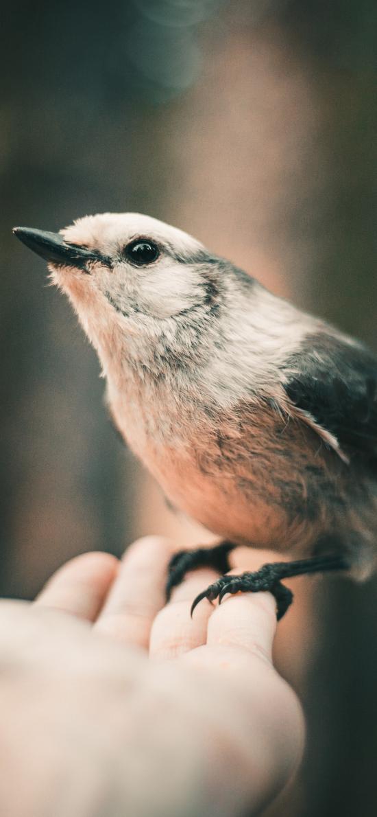 飞鸟 银喉长尾山雀 较小 手掌