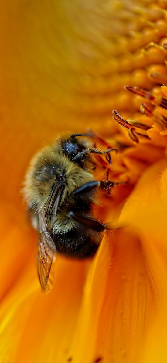 蜜蜂 鲜花 盛开 菊花 采蜜