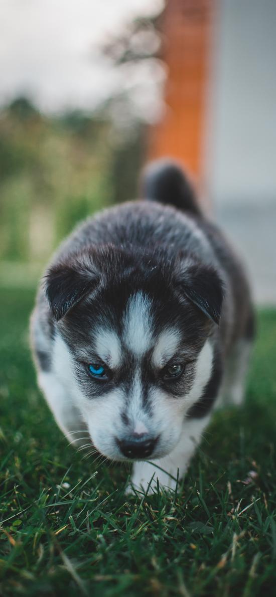 哈士奇 草地 幼仔 小狗