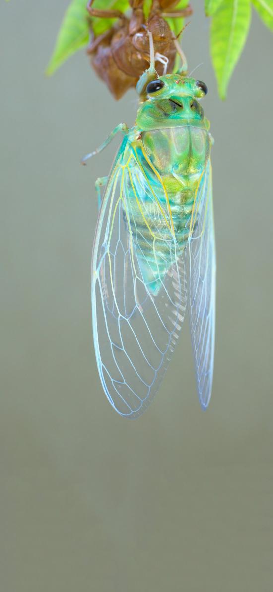 昆蟲 知了 蟬 翅膀 透明