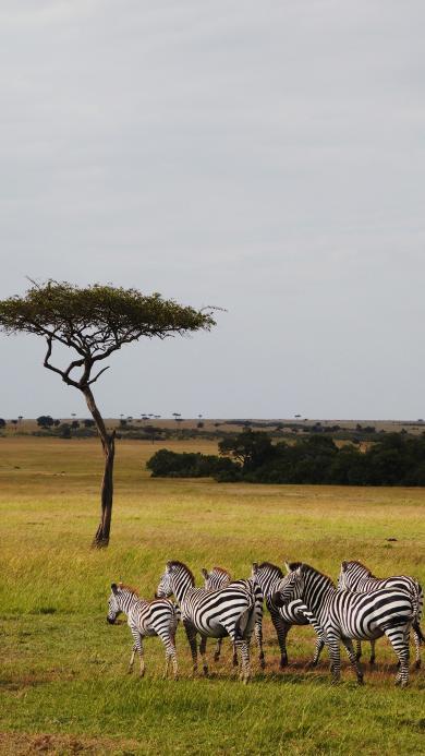 野外 斑马 斑马群 草原