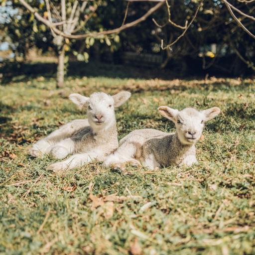小羊 羔羊 草地 野外