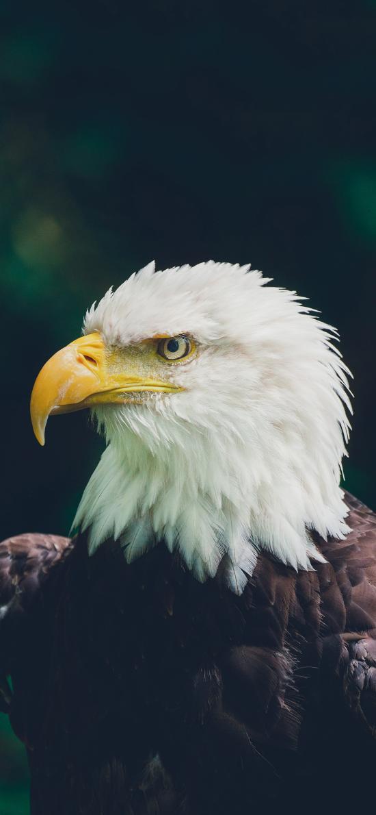 飛鳥 老鷹 犀利 獵鷹