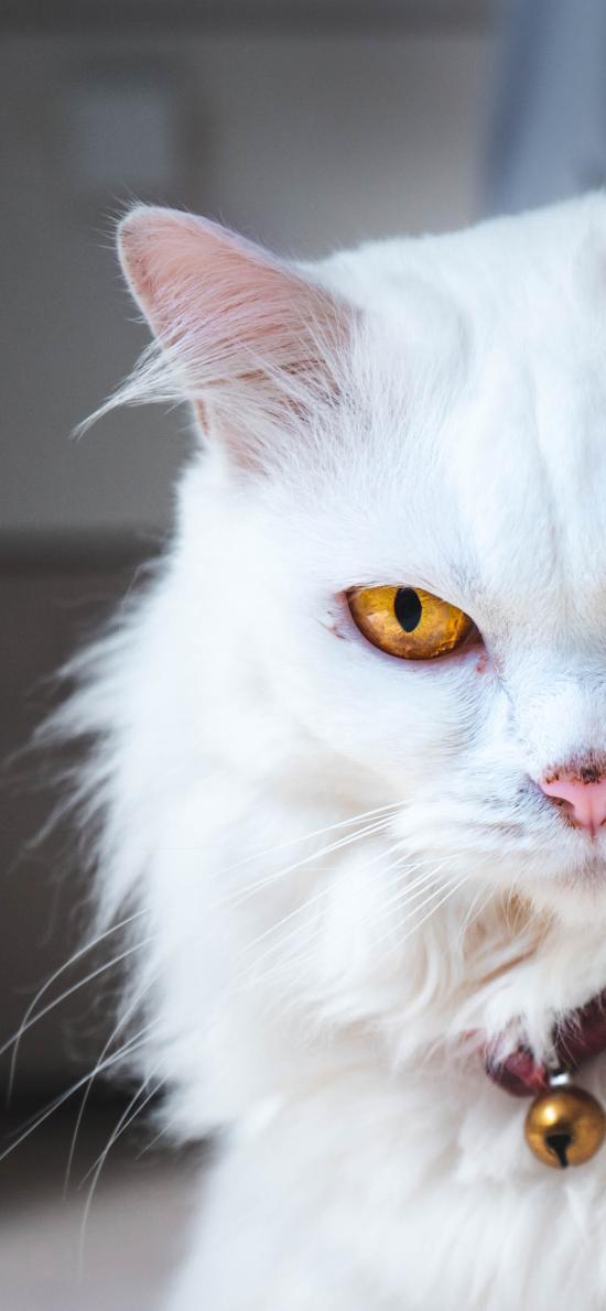 貓咪 異瞳 白貓 寵物
