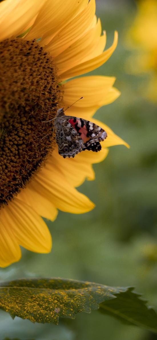 鲜花 向日葵 昆虫 蝴蝶