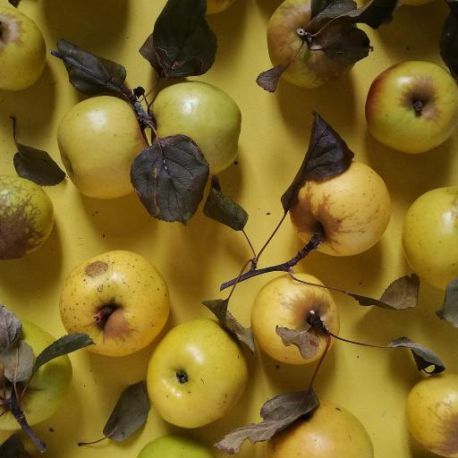 苹果 水果 野生 饱满