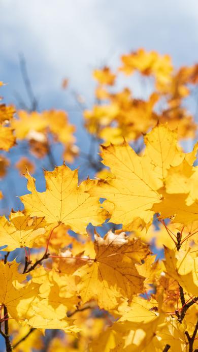 秋季 枯黃 楓葉 枝葉