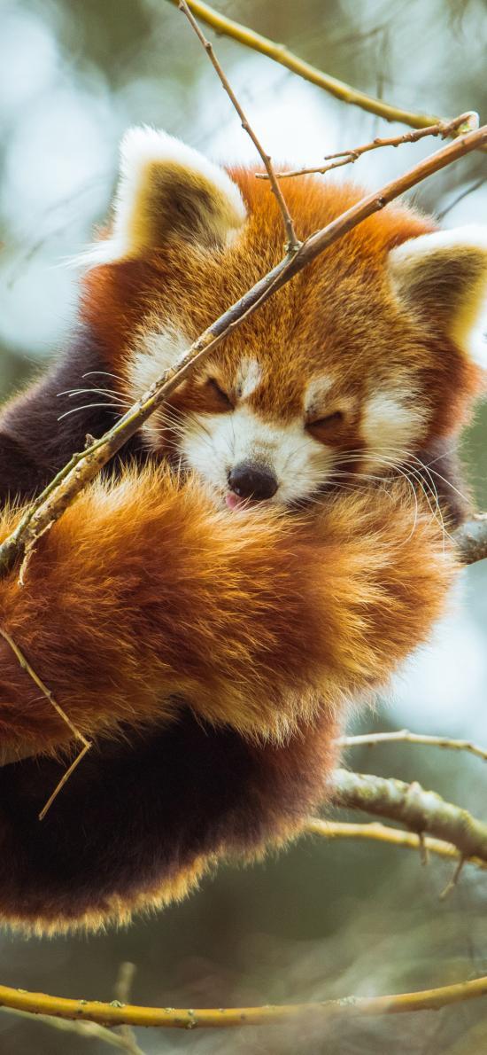 小熊貓 樹枝 皮毛 休憩