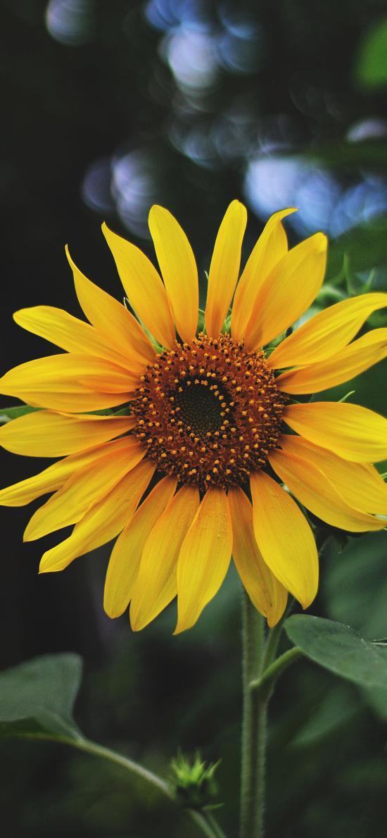 向日葵 鮮花 太陽花 大花盤