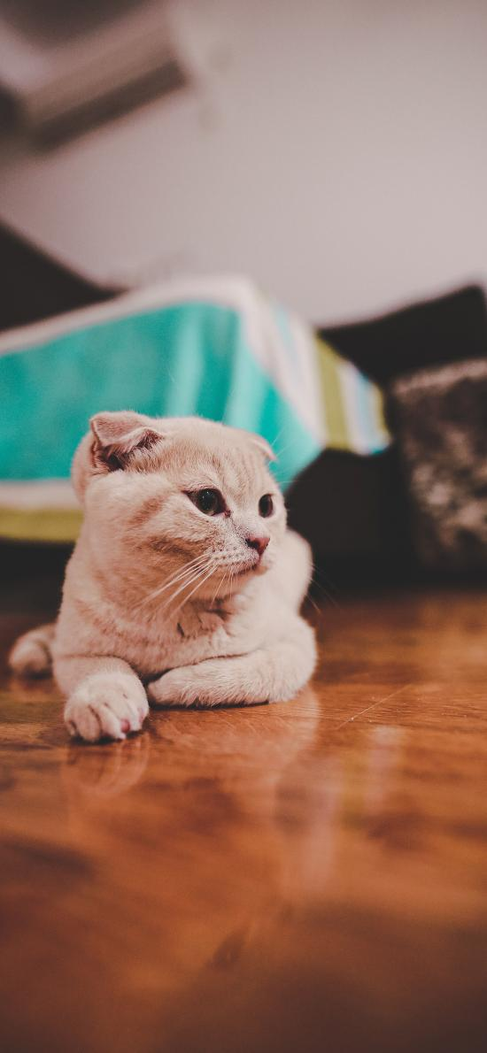 貓咪 寵物 地板 折耳