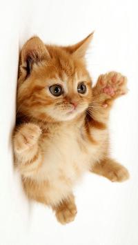 宠物 猫咪 可爱 橘色