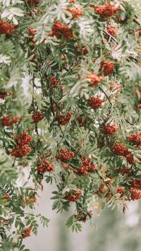 树木 绿植 果汁 红色浆果