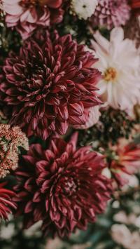 鲜花 花簇 菊花 色彩