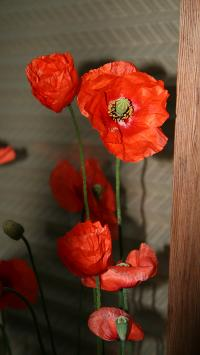 鲜花 罂粟 花朵 有害 盛开