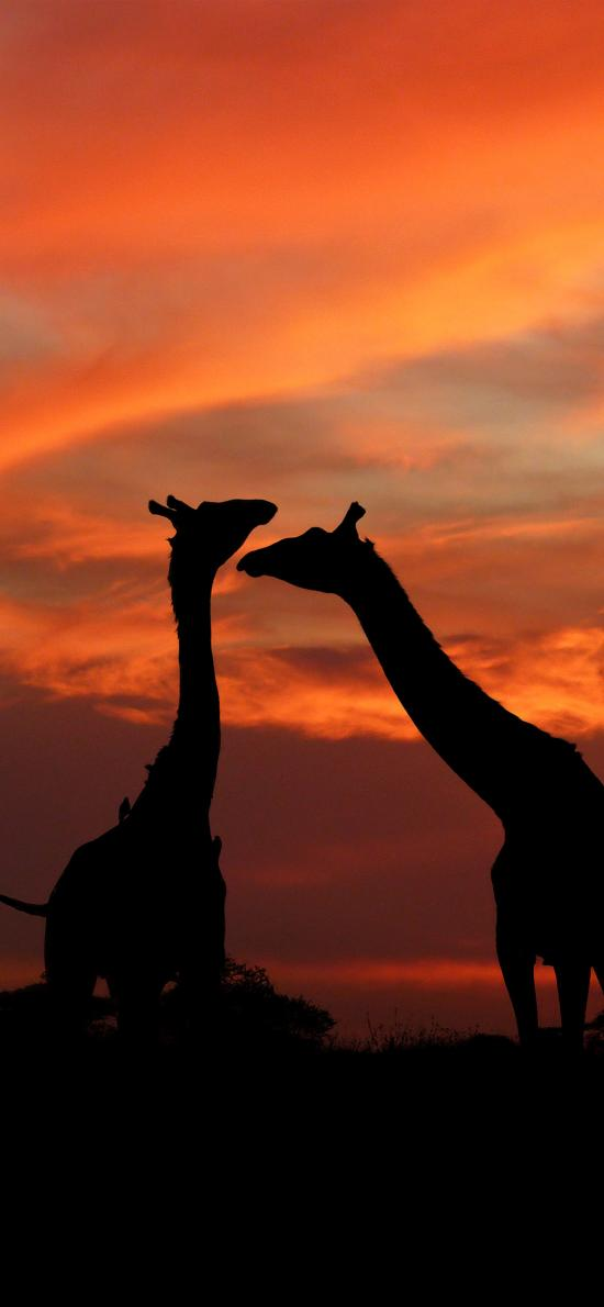 长颈鹿 黄昏 剪影 云彩