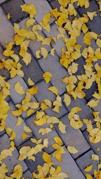 树叶 银杏叶 金黄 遍地