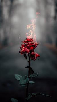 鲜花 燃烧 玫瑰 火焰 枝叶