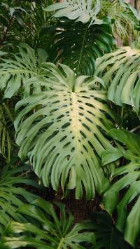 绿植 龟背竹 观赏 绿化