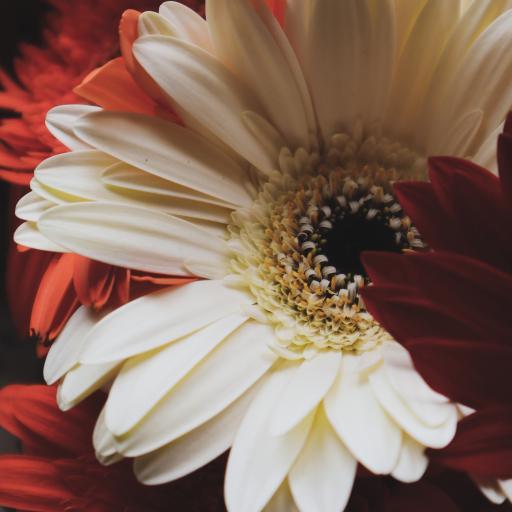 鲜花 非洲菊 菊花 盛开