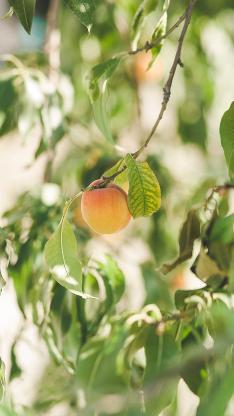 桃子 水果 树枝 树叶