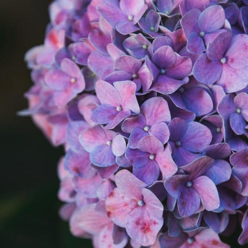 鲜花 花朵 花簇 绣球花