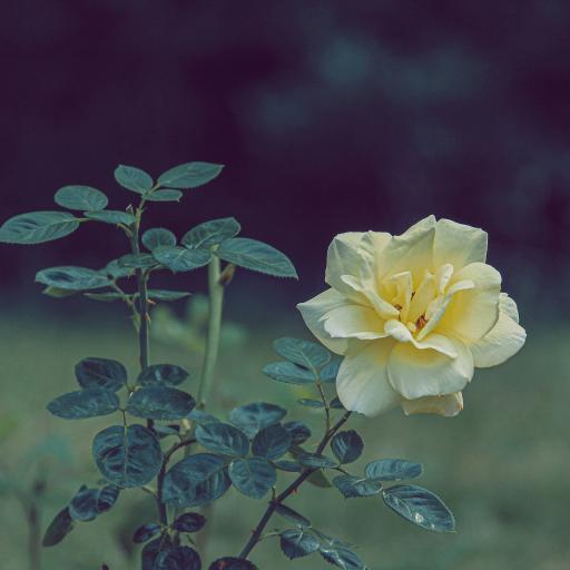 鲜花 花朵 盛开 枝叶
